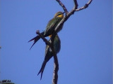 Swallow-tailed bee-eater1.jpg