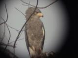 Western banded snake eagle.jpg
