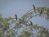 White-throated bee-eater1.jpg