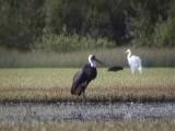 Woolly-necked stork.jpg