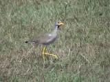 Yellow wattled plover.jpg