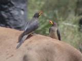 Yellowbilled oxpecker1.jpg