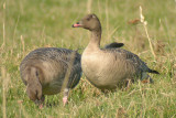 041011 Pink-footed Goose.jpg