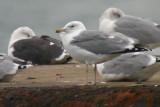 041014 Caspian Gull Düne 0.jpg