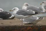 041014 Caspian Gull Düne 1.jpg