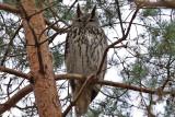 Berguv - Eagle Owl (Bubo bubo)