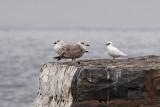 Ismås - Ivory Gull (Pagophila eburnea)