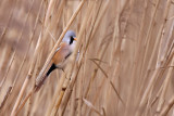 Skäggmes - Bearded Parrotbill (Panurus biarmicus)
