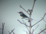 060307 d Blue-throated bee-eater Sablayan prison  penal colony farm.JPG