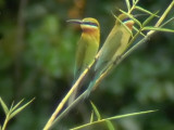 060307 gg Blue-tailed bee-eater Sablayan prison  penal colony farm.JPG