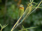 060307 h Blue-tailed bee-eater Sablayan prison  penal colony farm.JPG
