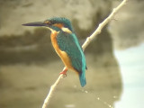 060307 hh Common kingfisher Sablayan prison  penal colony farm.JPG