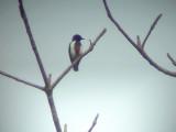 060307 n Scarlet-collared flowerpecker Sablayan prison  penal colony farm.JPG