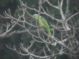 060307 rr Blue-naped parrot  Sablayan prison  penal colony farm.JPG