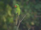 060307 v Blue-naped parrot  Sablayan prison  penal colony farm.JPG