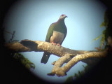 060308 a Pink-bellied imperial-pigeon Sablayan prison  penal colony farm.JPG