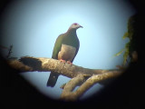060308 b Pink-bellied imperial-pigeon Sablayan prison  penal colony farm.JPG