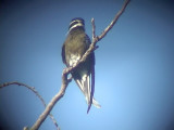 060308 d Whiskered treeswift Sablayan prison  penal colony farm.JPG