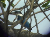 060308 h White-collared kingfisher Sablayan prison  penal colony farm.JPG