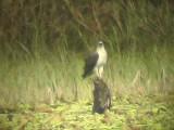 060308 k White-bellied sea-eagle Sablayan prison  penal colony farm.JPG