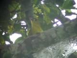 060310 f White-lored Oriole Camp1-Camp2 Hamut.JPG