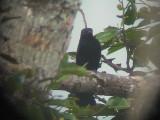 060310 f Philippine drongo cucko Camp1-Camp2 Hamut.JPG