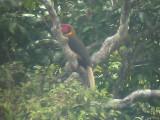 060310 i Rufous hornbill Camp1-Camp2 Hamut.JPG