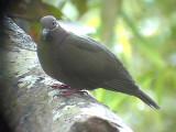 060311 h Amethyst brown-dove Camp2 Hamut.JPG