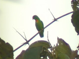 060312 m Philippine hanging-parrot Camp2-Camp1 Hamut.JPG