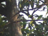 060312 p Bicolored flowerpecker Camp2-Camp1 Hamut.JPG