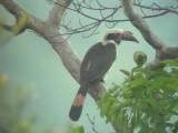 060313 d Luzon hornbill Camp1 Hamut-Baliwag.JPG