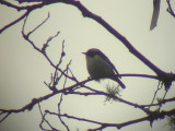060314 c Little pied flycatcher Mt Polis.JPG