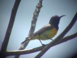 060316 aa Olive-backed sunbird Puerto princessa.JPG