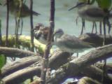 060316 aaa Grey-tailed tattler Ruddy turnstone Puerto princessa.JPG