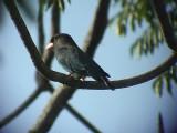 060316 hhh Dollarbird Sabang.JPG