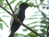 060316 iii Asian drongo-cuckoo Sabang.JPG