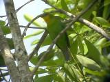 060316 jjj Yellow-throated leafbird Sabang.JPG