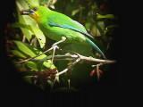 060316 k Yellow-throated leafbird Sabang.JPG