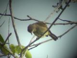 060316 nnn Olive-winged bulbul Sabang.JPG