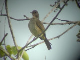 060316 oo Olive-winged bulbul Sabang.JPG