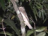 060316 sss Javan frogmouth Sabang.JPG