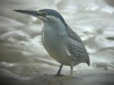 060317 b Striated heron St Pauls National park.JPG