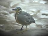 060317 bbb Striated heron St Pauls National park.JPG