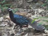 060317 e Palawan peacock-pheasent St Pauls National park.JPG