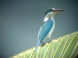 060317 nn Collared kingfisher St pauls National park.JPG