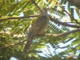 060317 pp Plaintive cuckoo St pauls National park.JPG