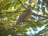 060317 ppp Plaintive cuckoo St pauls National park.JPG