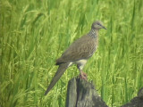 060318 b Spotted dove St Pauls National park.JPG