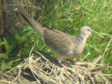 060318 d Spotted dove St Pauls National park.JPG