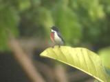 060321 aa Red-keeled flowerpecker Mt Kanloan.JPG